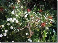 04.rot-weiße Blüten