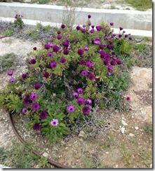 22.Mittagsblumen Anfang März