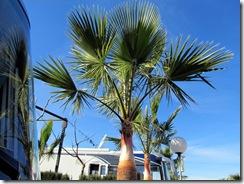 Palmenpflege (7)