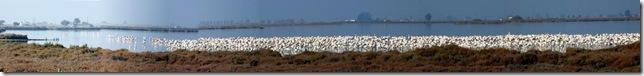 Flamingos (Panorama)