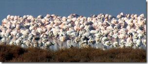 schlafende Flamingos