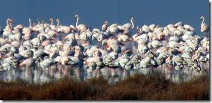 wenige wache Flamingos