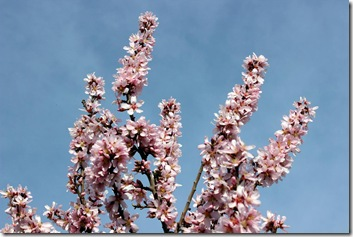 Mandelblüte rosa