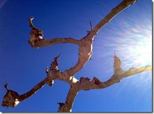 Maulbeerbaum in der Mittagssonne