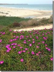 Strohblumen mit Strandblick