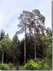 Zwillingsbäume