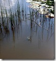 Frosch 3, schwimmend