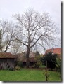 der Walnussbaum