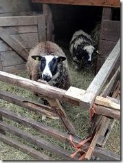 2 Schafe gibt es auch