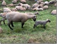 nackte Schafe