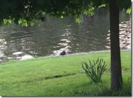 Nutria am Teich