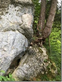 Alphornbaum