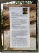 Westafrikanischer Löwe
